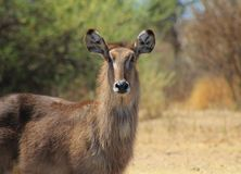 Spring stare from Waterbuck mom - Africa Stock Photo