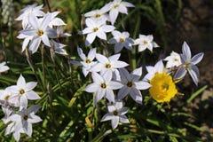 Spring Starflowers (Ipheion Uniflorum) Royalty Free Stock Photos