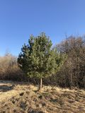 Spring steppe. Pine tree and dry grass on blue sky background. Field, nature, yellow, agriculture, brown, summer, wild, path, barren, beautiful, beauty royalty free stock photo
