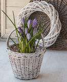 Spring still life with crocus on the window Stock Images
