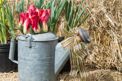 Spring Still Life with straw. An old watering can holds a garden decor still life of vibrant spring flowers royalty free stock photography
