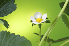 Spring Strawberry Flower Stock Photo