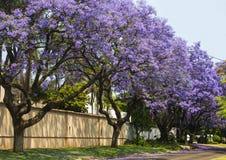 Spring street of beautiful purple vibrant jacaranda in bloom. Royalty Free Stock Photo