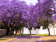 Spring street of beautiful violet vibrant jacaranda in bloom. Stock Images
