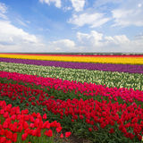 Spring stripes of  tulips in sunny day Stock Images