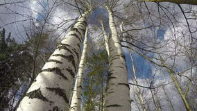 Spring strong wind in birch forest. Timelapse 4K stock video