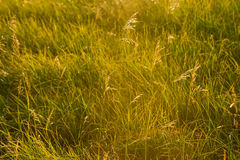 Spring or summer abstract nature background with grass in the me Royalty Free Stock Photography