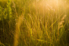 Spring or summer abstract nature background with grass in the me royalty free stock images