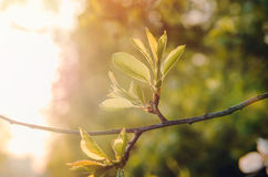 Spring or summer abstract nature background with green twig cherry blossoms tree, sunlight in the back. Eco season Royalty Free Stock Photography