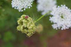 Spring Summer American Wild carrot white flower plants stock photography