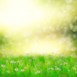 Field of daisies. Spring, summer background with 3d white daisies and fresh grass over bokeh background Royalty Free Stock Photography