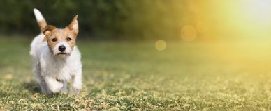 Free Spring, Summer Concept - Cute Happy Pet Dog Puppy Playing In The Grass, Web Banner Stock Images - 144943724