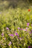 Spring  / Summer field with green grass in sunset . Bokeh backlight na. Spring  / Summer field with Wild flowers and grass in sunset . Bokeh backlight natural Stock Photography