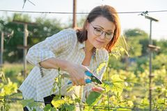 Spring summer garden work in vineyard. Mature woman working with pruner scissors with grapes bushes. Sunny day royalty free stock images