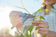 Spring summer garden work in vineyard. Mature woman working with pruner scissors with grapes bushes. Sunny day royalty free stock image