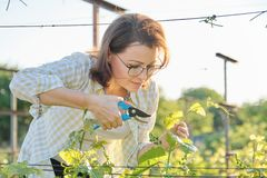 Spring summer garden work in vineyard. Mature woman working with pruner scissors with grapes bushes. Sunny day stock photo
