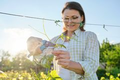 Spring summer garden work in vineyard. Mature woman working with pruner scissors with grapes bushes. Sunny day stock images