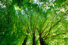 Spring Summer Green Canopy Of Tall Trees. Sunlight Stock Photography