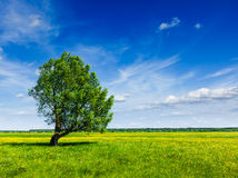 Spring summer green field scenery lanscape with single tree Royalty Free Stock Image