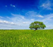 Spring summer green field scenery lanscape with single tree Stock Images