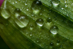 Spring and summer green leafs with waterdrops macro picture. Spring summer green leafs waterdrops macro picture useful for background royalty free stock image