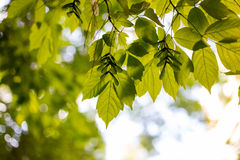 Spring and summer sunlights brings from fresh green lieves usefull for backgorund Royalty Free Stock Photos