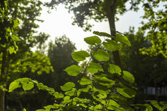 Spring and summer sunlights brings from fresh green lieves usefull for backgorund Royalty Free Stock Photo