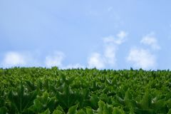 The wall of the house going into the sky, the leaves of a green grapes against the blue sky of a cloud with an empty copy of space royalty free stock photography