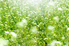Spring and summer wallpaper with green grass and white flowers Royalty Free Stock Photo