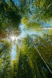 Spring Sun Shining Through Canopy Of Tall Trees Bamboo Woods. Su Stock Photos