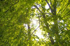 Spring Sun Shining Through Canopy Of Tall Trees Woods. Sunlight In Forest, Summer Nature. Upper Branches Of Trees Background stock photo
