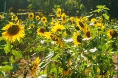 In spring, sunflower flowers bloom, very beautiful. Spring, Sunflower Garden landscape, sunflower is blooming. On the opposite side of the Shenzhen civic center Stock Images
