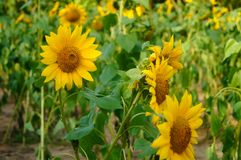 In spring, sunflower flowers bloom, very beautiful. Spring, Sunflower Garden landscape, sunflower is blooming. On the opposite side of the Shenzhen civic center Stock Image