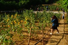 Shenzhen, China: Sunflower Garden, attracting people to watch. Spring, Sunflower Garden, attracts people to watch, on the south side of Shenzhen civic center Stock Images
