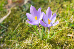 Spring sunlight crocus pastel flowers on sunshine Alpine meadow Royalty Free Stock Photography
