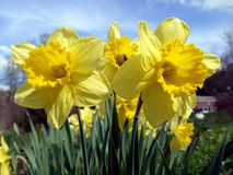 Spring: sunlit yellow daffodils stock photography