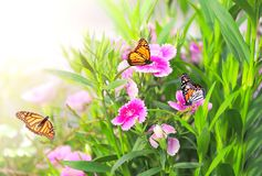 Spring sunny background with pink carnation flowers and butterflies monarch. Spring sunny background with pink carnation flowers and three butterflies monarch royalty free stock photo