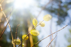 Spring sunny blurry rays forest background with a willow twig Royalty Free Stock Image