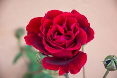 Beautiful red rose in my mother`s garden, Rosa Rosaceae. Spring sunny day, beautiful red rose flower in my mother`s garden opening petals to the sun Stock Photos