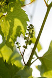 Spring sunny day, a bunch of young grapes Royalty Free Stock Photos