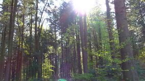 Spring sunny day in coniferous dense forest of pine trees stock footage
