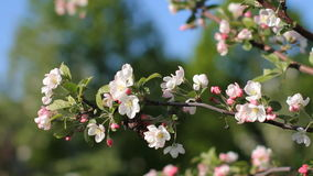 Spring, a sunny day, a flourishing garden. White-pink flowers on an apple tree at the time of flowering. stock video