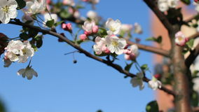 Spring, a sunny day, a flourishing garden. White-pink flowers on an apple tree at the time of flowering. stock footage
