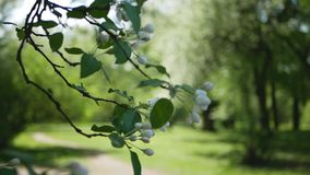 White flowers on a tree in Spring Park. Apple orchard. Spring sunny day. Spring, a sunny day, a flourishing garden. White-pink flowers on an apple tree at the stock footage