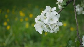 White flowers on a tree in Spring Park. Apple orchard. Spring sunny day. Spring, a sunny day, a flourishing garden. White-pink flowers on an apple tree at the stock video footage