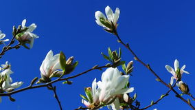 Spring sunny day, flowers of magnolia. Spring background, bright spring sunny day with a blue sky, flowering flowers and magnolia stock footage
