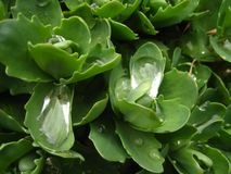 Spring sunny day. Green leaves. Sedum. Spring sunny day. Green leaves. Sedum with drops royalty free stock images