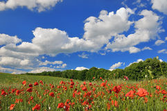 Spring sunny day on a green meadow. With a red poppy .  Spring landscape Royalty Free Stock Photos