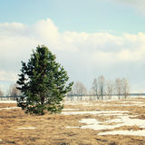 Spring sunny day. A lone pine tree in the field. Toned photo. Cold russian winter. Peaceful day. Russian North. Kenozersky National Park UNESCO Biosphere Royalty Free Stock Photo