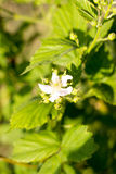 Spring sunny day, young berries and flowers blackberry. Berry royalty free stock photo